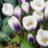 Тюльпан Czaar Peter