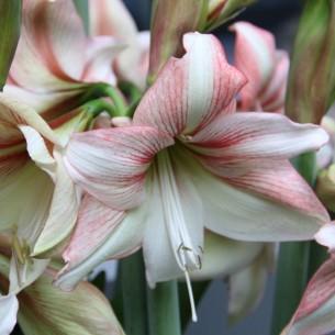 Тюльпан Lilac Perfection