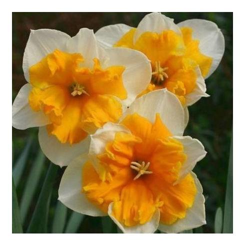 Нарцисс Orangery