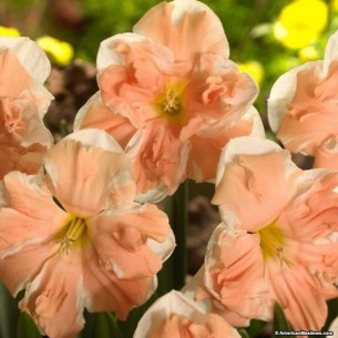 Нарцисс Apricot Whirl