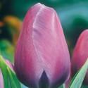 Тюльпан Purple Prince