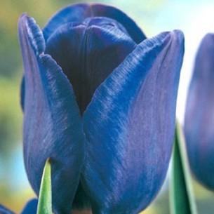Тюльпан Bleu Amaible