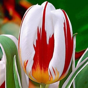 Тюльпан Happy Generation