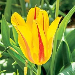 Тюльпан Hocus Pocus