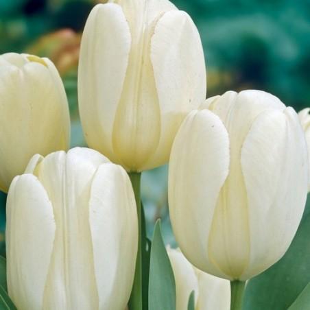 Тюльпан Ivory Floradale