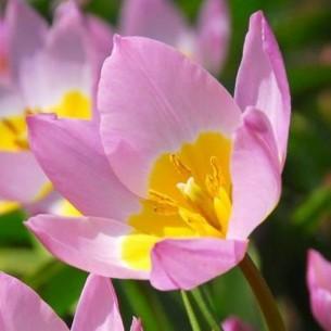 Тюльпан Lilac Wonder