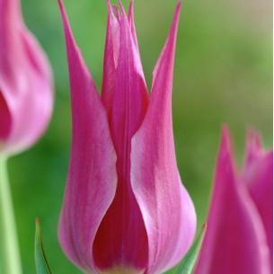 Тюльпан Maytime