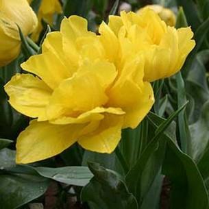 Тюльпан Monte Peony