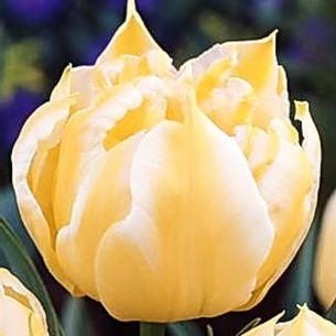 Тюльпан Monte Sweet