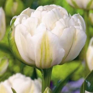 Тюльпан Mount Tacoma