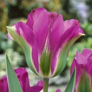Тюльпан Violet Bird