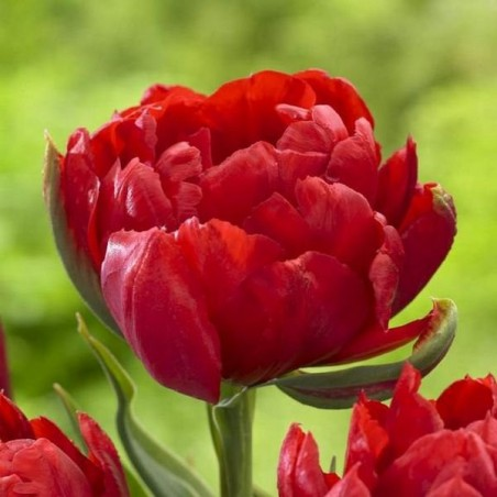 Тюльпан Abba Dream