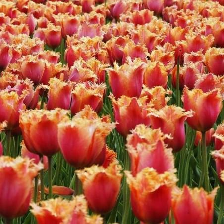 Тюльпан Aleppo