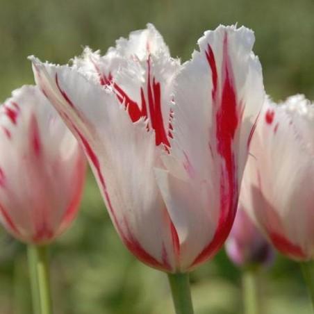 Тюльпан Carroussel