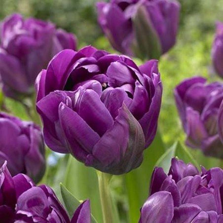 Тюльпан Double negrita