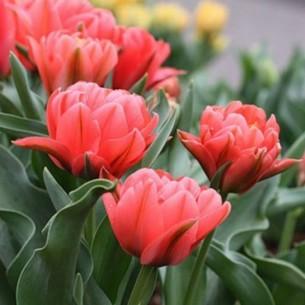 Тюльпан Double Toronto