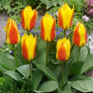 Тюльпан First Love