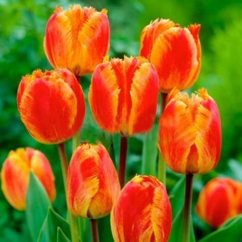 Тюльпан Fringed Solstice