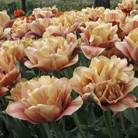 Тюльпан La belle epoque