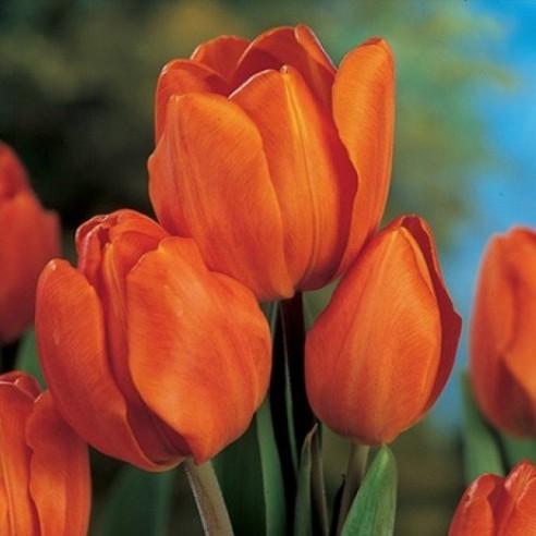 Тюльпан Orange Bouquet