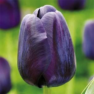 Тюльпан Paul Scherer