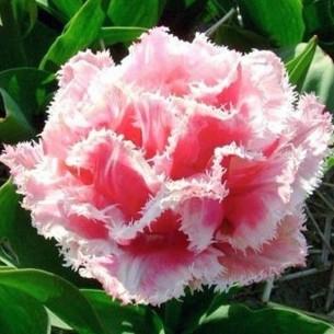 Тюльпан Queensland