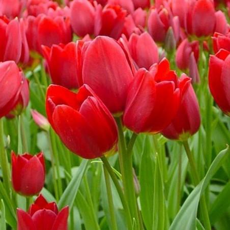 Тюльпан Red Georgette