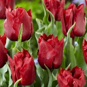 Тюльпан Robinho