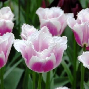 Тюльпан Siesta