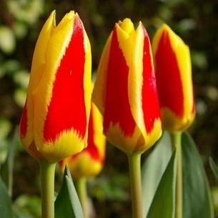 Тюльпан Stresa