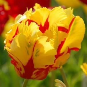 Тюльпан Texas Flame