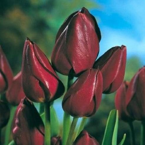 Тюльпан Wallflower
