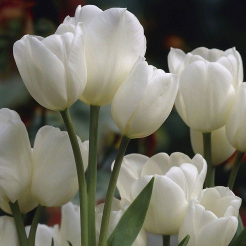 Тюльпан Weisse Berliner