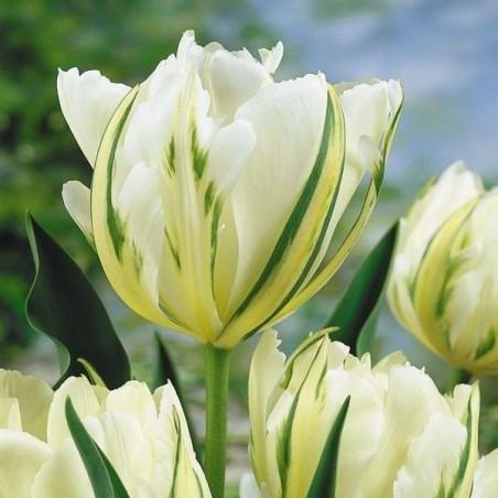 Тюльпан White valley