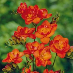 Фрезия Оранжевая