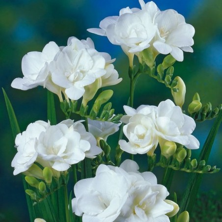 Фрезия Белая