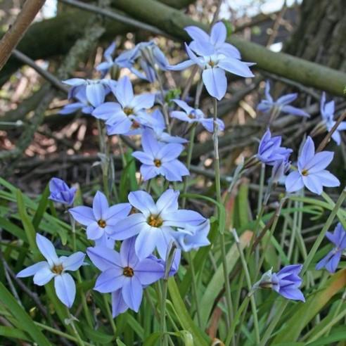 Ифейон Wisley Blue