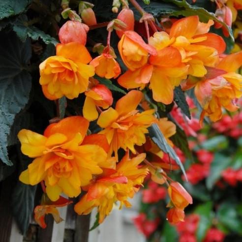 Бегония Cascade Orange