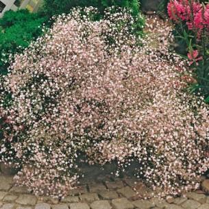 Гипсофила Pan. Розовая