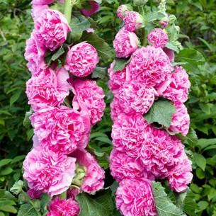 Штокроза Махр. Розовая