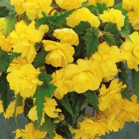 Бегония Cascade Yellow