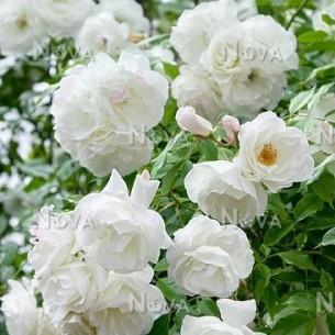 Роза Schneewittchen