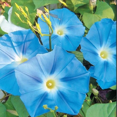 Ипомея Небесно-синий