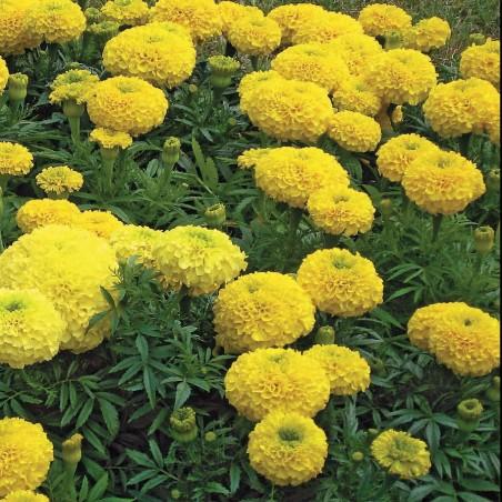 Бархатцы Купидон, желтые