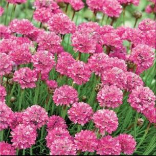 Армерия приморская Розовый бриз