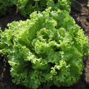 Салат Афицион салат Батавия