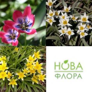 Набор Ботанических Тюльпанов