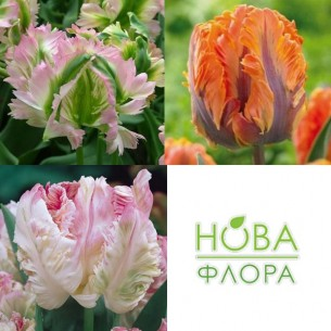 Набор Махровых Тюльпанов