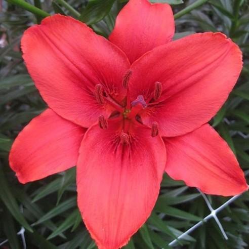 Лилия Red Highland