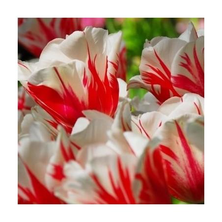 Тюльпан Sorbet